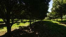 Macadamia Hawaii Nut Trees In Commercial Orchard Rows