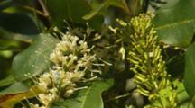 Macadamia Hawaii Nut Tree Flower