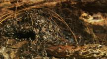 Australian Native Bees emerging from log hive in morning
