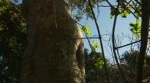 Wild European Honey Bees emerge from hollow tree in morning