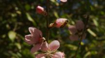 Stone Fruit Nectarine Flowers with pollinating Bees