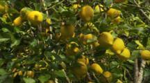 Lemon Citrus Fruit on Tree