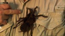 Huge Tarantula (Bird-Eating) On Human Body!