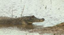 Spectacled Caiman On Shore