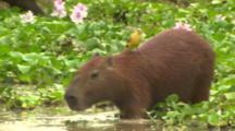 Capybara In Water