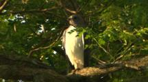 White Tailed Hawk
