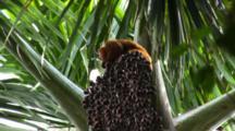 Red Uakari Monkeys Feed On Aguaje Fruit