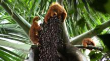 Red Uakari Monkeys Feed On Aguaje Fruit