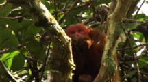 Red Uakari Monkey