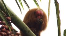 Red Uakari Monkey Eats Aguaje Fruit