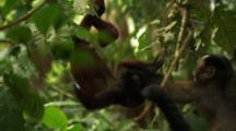 Capuchin And Baby Red Howler Monkey