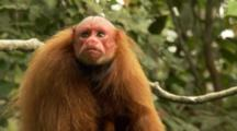 Red Uakari Monkey In Tree, Looks Around