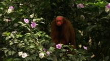 Red Uakari Monkey In Flowering Tree