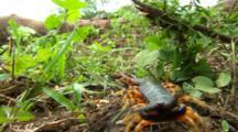 Giant Centipede On Forest Floor