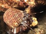 Partridge Tun Shelled Snail Moves Across Reef At Night