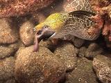 Undulated Moray Eel, Swallowing Fish