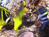 Racoon Butterflies Eating Eggs Of Sergeant Majors