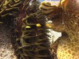 Triton's Trumpet Attacking Crown-Of-Thorns Sea Star