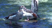 2 Egyptian Geese Standing Shallow Water, Preening