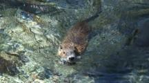 Nutria Swimming, Approaches Camera