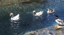 Chinese Swan Geese Swim In Clear Springs