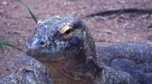 Large Nile Monitor Lizard Stares Unmovingly At Camera