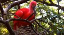 Scarlet Ibis Tends To Chick In Nest