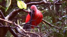 Scarlet Ibis Feding Chick In Nest