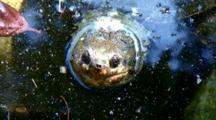 Turtle(Possible Snapping Turtle)Head Above Surface