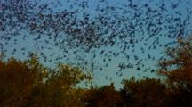 Emerging Bats From Bracken Cave Fill Sky Above Cave Mouth