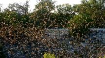 Just Above Cave Mouth, Bats Emerging, Tilt Up To Bat-Filled Sky