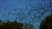 Bats Leaving Area To Hunt Insects-Sky Filled With Bats