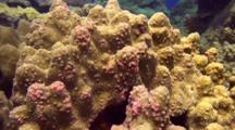 Coral Disease-Trematode Infection (Porites Pinking)