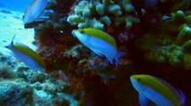 Bi-Colored Anthias, Damselfish Swirl Around Coralhead