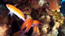 Bicolored Anthias Inside A Coralhead