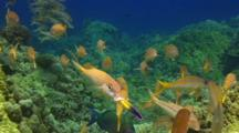 Grp Goatfish With Parrotfish Cleaned By Hawaiian Cleaner Wrasse