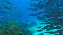 School Mackerel Scad Part As Camera Nears
