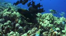 Butterflies, Triggerfish Gather For Feeding Sergeant Major Eggs