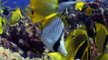 Feeding Frenzy On Eggs Of Sergeant Majors