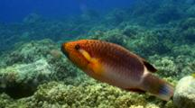 Ringtail Wrasse (Fem.) Hunting Just Above Coral