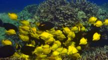 School Yellow Tangs Feeding With Other Surgeonfish