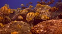 School Mostly Surgeonfish Feeding Algae On Lava Boulders