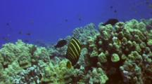 Solitary Sailfin Tang Feeding On Reef