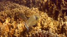 Pr Bluespine Unicornfish Eating Algae On Coral