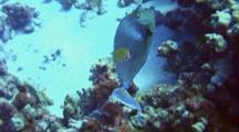 Bluespine Unicornfish Eating Algae, Swims Upslope