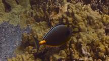 Good C/U Orangespine Surgeonfish W/Cleaner Wrasse