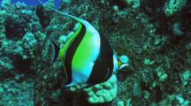 Moorish Ido Feeding In Lobe Coral