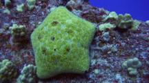 Camera Approaches Cushion Sea Star On Lava Boulder