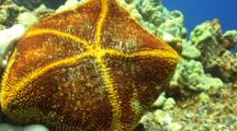 Diver Turns Cushion Sea Star Over To Show Underside