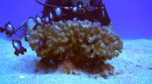 Isolated Cauliflower Coral, Many Juv Damsel Fish, Diver Watches